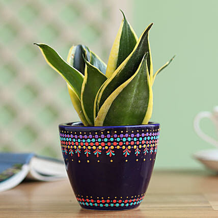 Sansevieria Plant in Hand Painted Dot Planter: Best Gifts to India