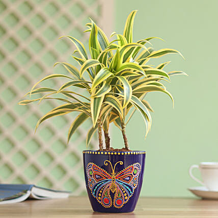 Song of India Plant in Hand Painted Planter: Cricket World Cup Gifts
