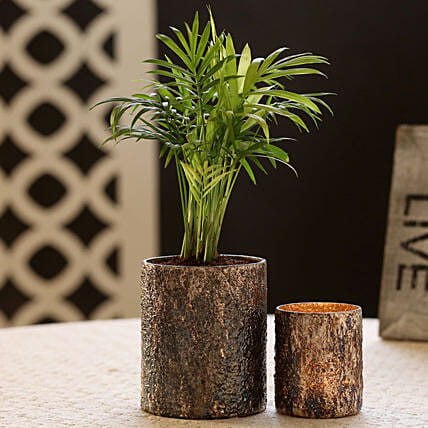 Chamaedorea Plant In Metallic Glass Pot & Votive Holder: Best Outdoor Plant