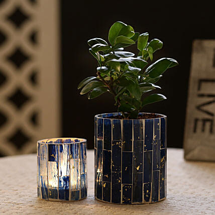 Ficus Compacta Plant In Blue Mosaic Art Glass Pot & Votive Holder: Send Gifts to Sultanpur
