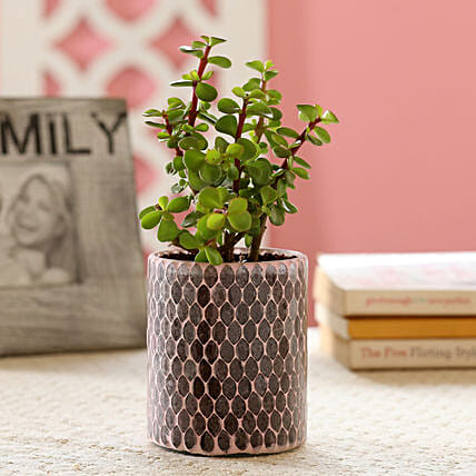 Jade Plant in Diamond Cut Mosaic Art Glass Pot: Boss Day Gifts