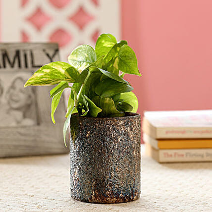 Money Plant In Metallic Gold Finish Glass Pot: Gift For Boss