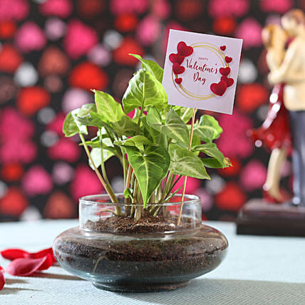 Syngonium Plant For Valentine's Day: Terrariums Plants