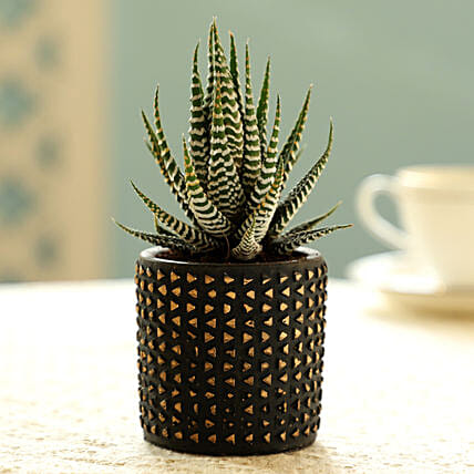 Haworthia Plant In Black Pot: Rare Plants