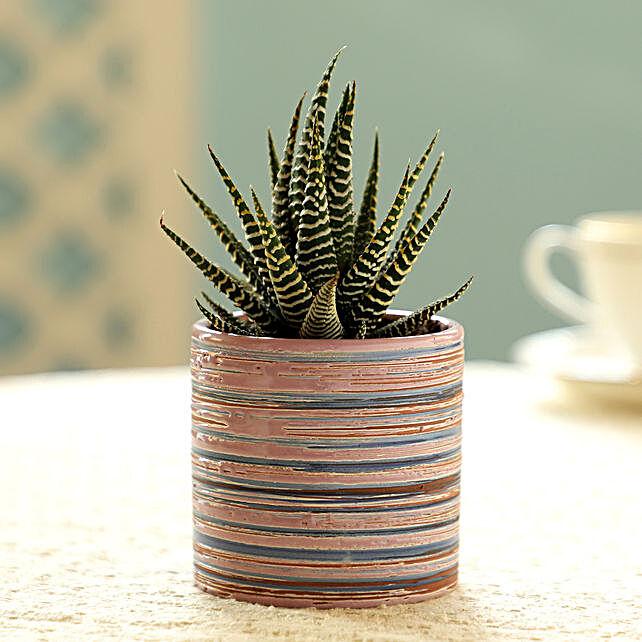 Haworthia Plant In Violet Pot: Rare Plants