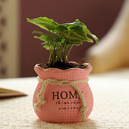 Syngonium Plant In Pink Pot: Gift For Boss