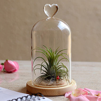 Tilandsia Air Plant in Glass Dome: Send Gifts to Aizawl
