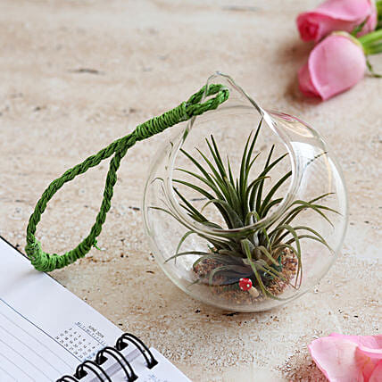 Tilandsia Air Plant in Glass Ball: Send Gifts to Dhar
