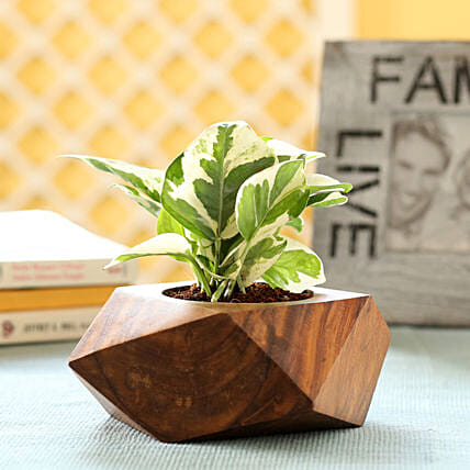 Money Plant In Sheesham Wood Planter: Ornamental Plants