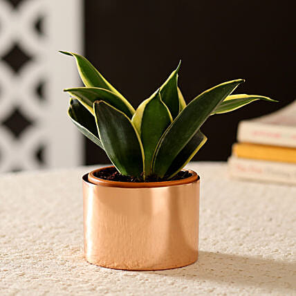 Sansevieria Plant In Classic Copper Metal Planter: Ornamental Plants