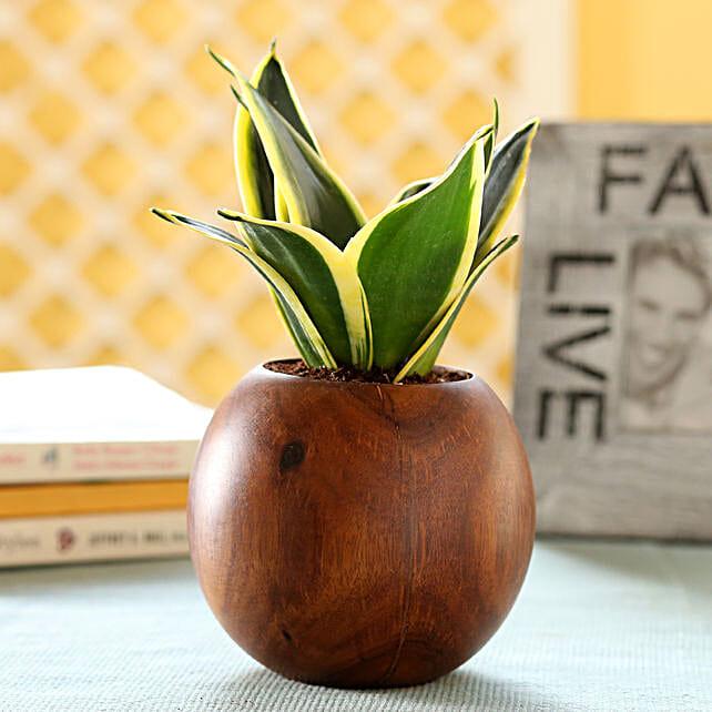 Sansevieria Plant In Sheesham Wood Ball Planter: Spiritual and Vastu Plants