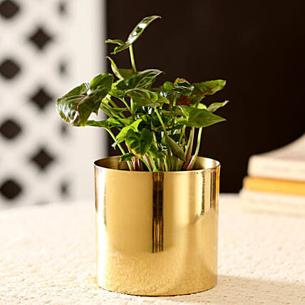 Syngonium Plant In Classic Gold Metal Planter: Premium Plants
