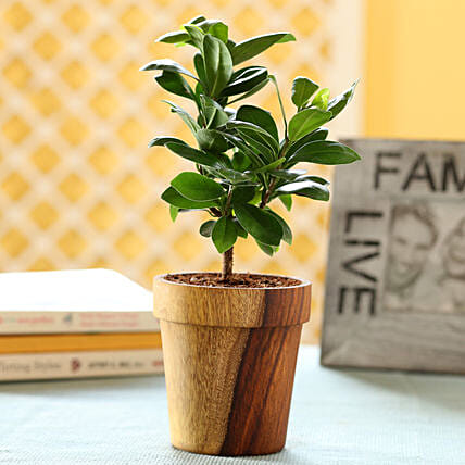 Ficus Compacta In Sheesham Wood Vintage Planter: Ornamental Plants