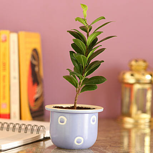 Ficus Compacta In Blue Ceramic Pot: Bonsai Plants