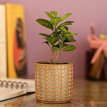 Ficus Compacta In Brown Ceramic Pot: Bonsai Plants