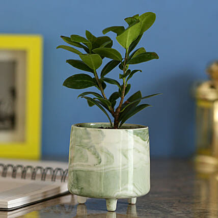 Ficus Compacta In Designer Grey Ceramic Pot: Bonsai Plants