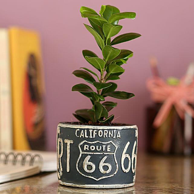 Ficus Compacta In Grey Ceramic Pot: Bonsai Plants