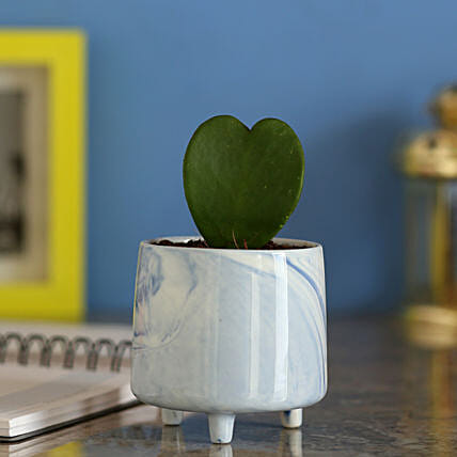 Hoya Plant In Ceramic Blue Pot: Send Shrubs