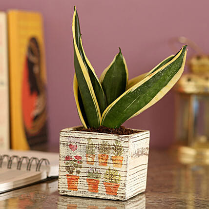 MILT Sansevieria In White Ceramic Pot: Best Gifts to India