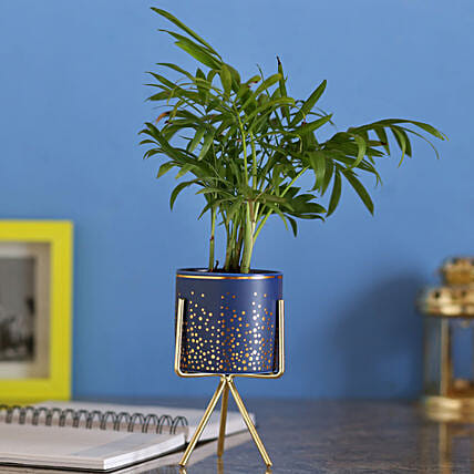 Chamaedorea Plant In Blue Ceramic Pot: Gifts for Propose Day