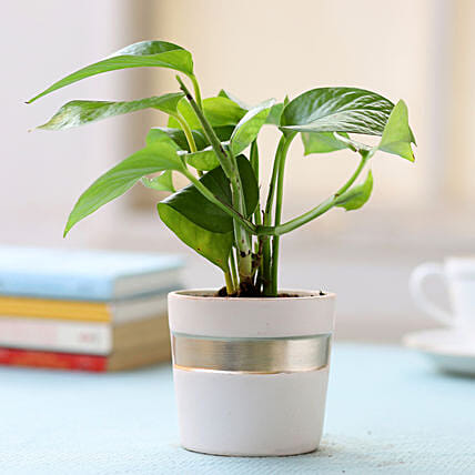 Pot of Money Plant: Outdoor Plants