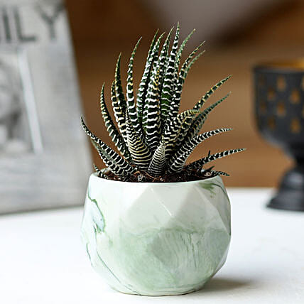 Potted Haworthia Zebra Plant: Rare Plants