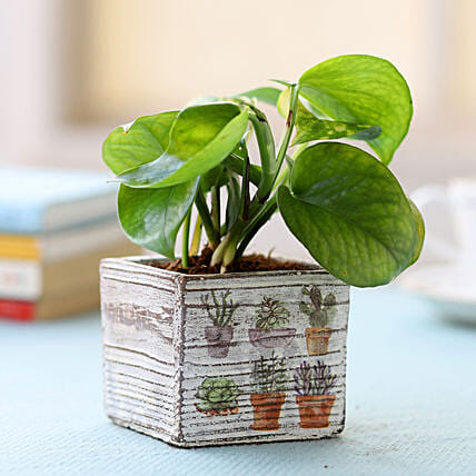 White Potted Money Plant: Best Outdoor Plant
