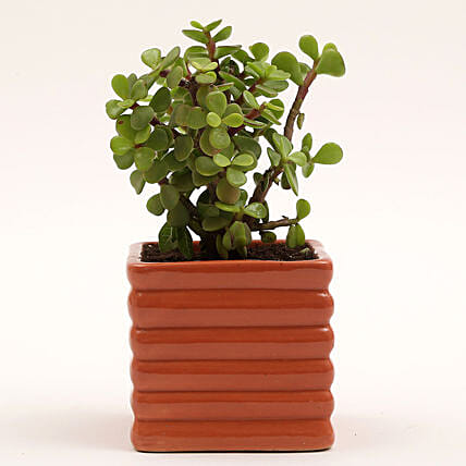 Jade Plant in Ceramic Pot: Pots and Planters