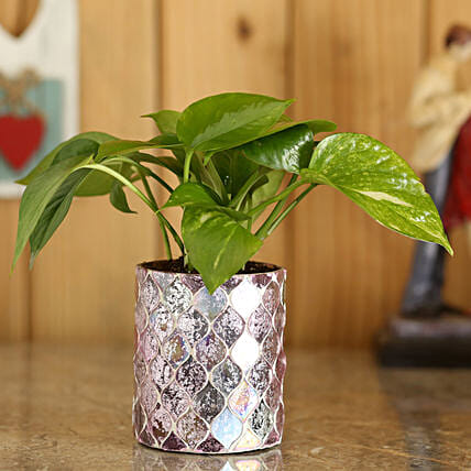 Money Plant In Diamond Cut Planter: Spiritual Gifts