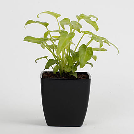 Xanadu Philodendron Golden Plant in Imported Plastic Pot: Flowering Plants