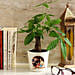 Pachira Bonsai in Personalised Photo Ceramic Pot