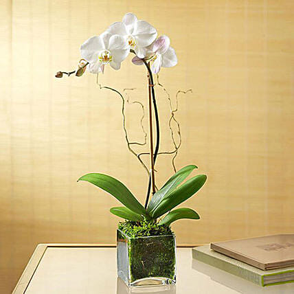White Orchid Plant In Glass Vase: Plants in Singapore