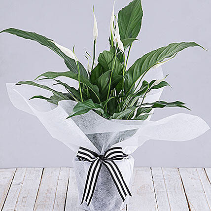 Spathiphyllum In White Tissue Paper: Plants in South Africa