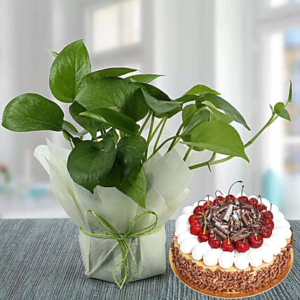 Money Plant and Blackforest Cake Combo: Indoor Plants in UAE