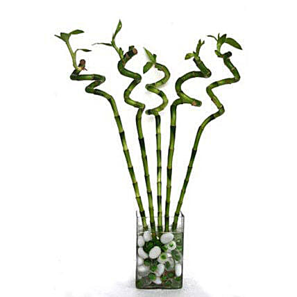 Spiral Bamboo: Indoor Plants in UAE