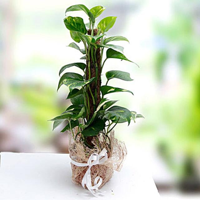 Utmost Perfection: Money Plants to UAE