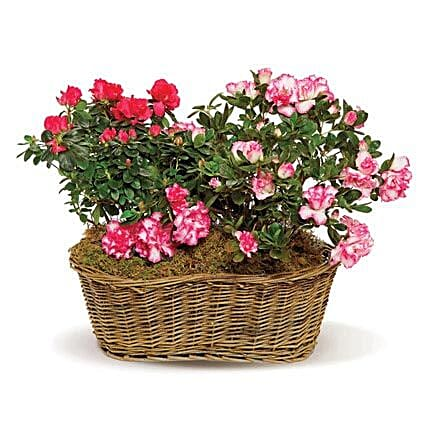 Awesome Azaleas: Order Flowers San Diego