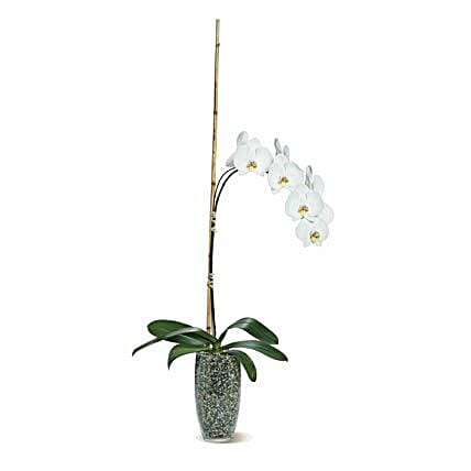 Potted Phalaenopsis: Plant Delivery in USA