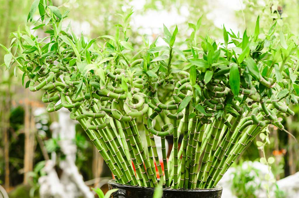 Interesting Facts about Lucky Bamboo Plant - Ferns N Petals