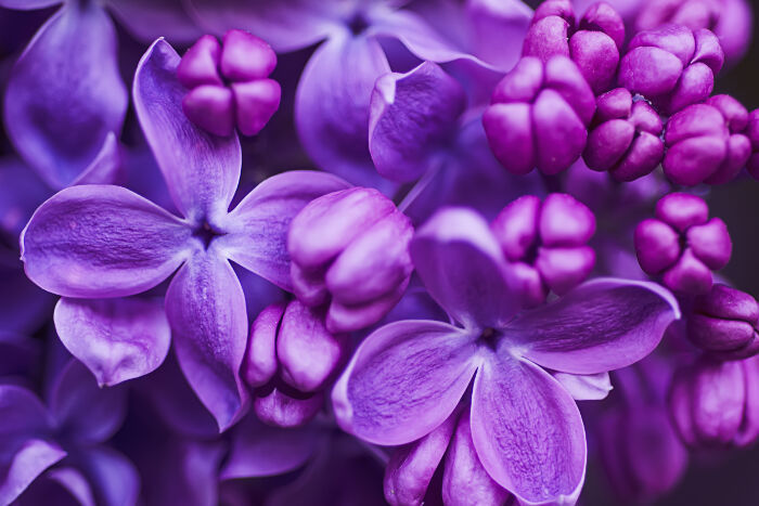 Lilac Spring Flowers