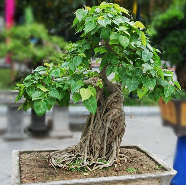 The Best Bonsai Plants For Home Or Office Ferns N Petals