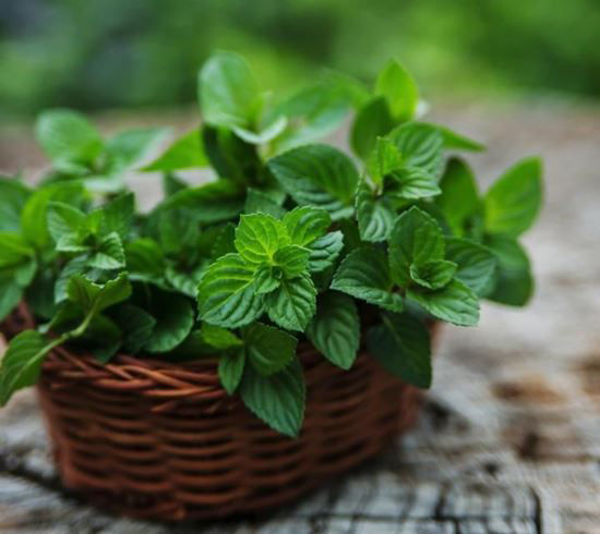 Peppermint for Cancer