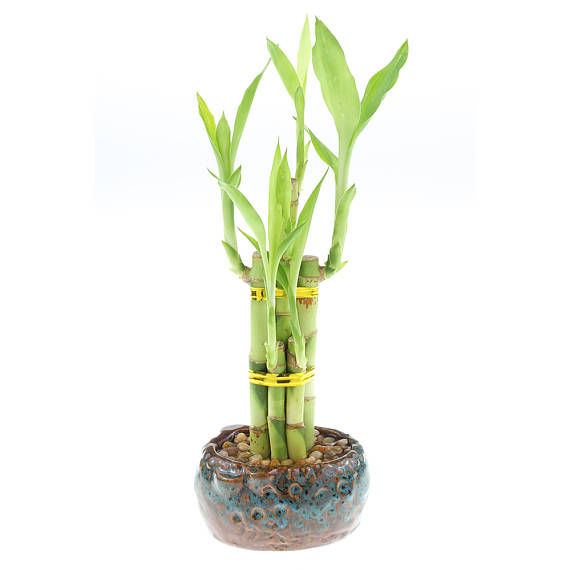 5 Stalks Lucky Bamboo