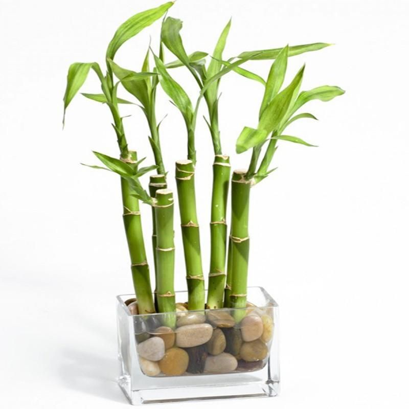 6 Stalks Lucky Bamboo