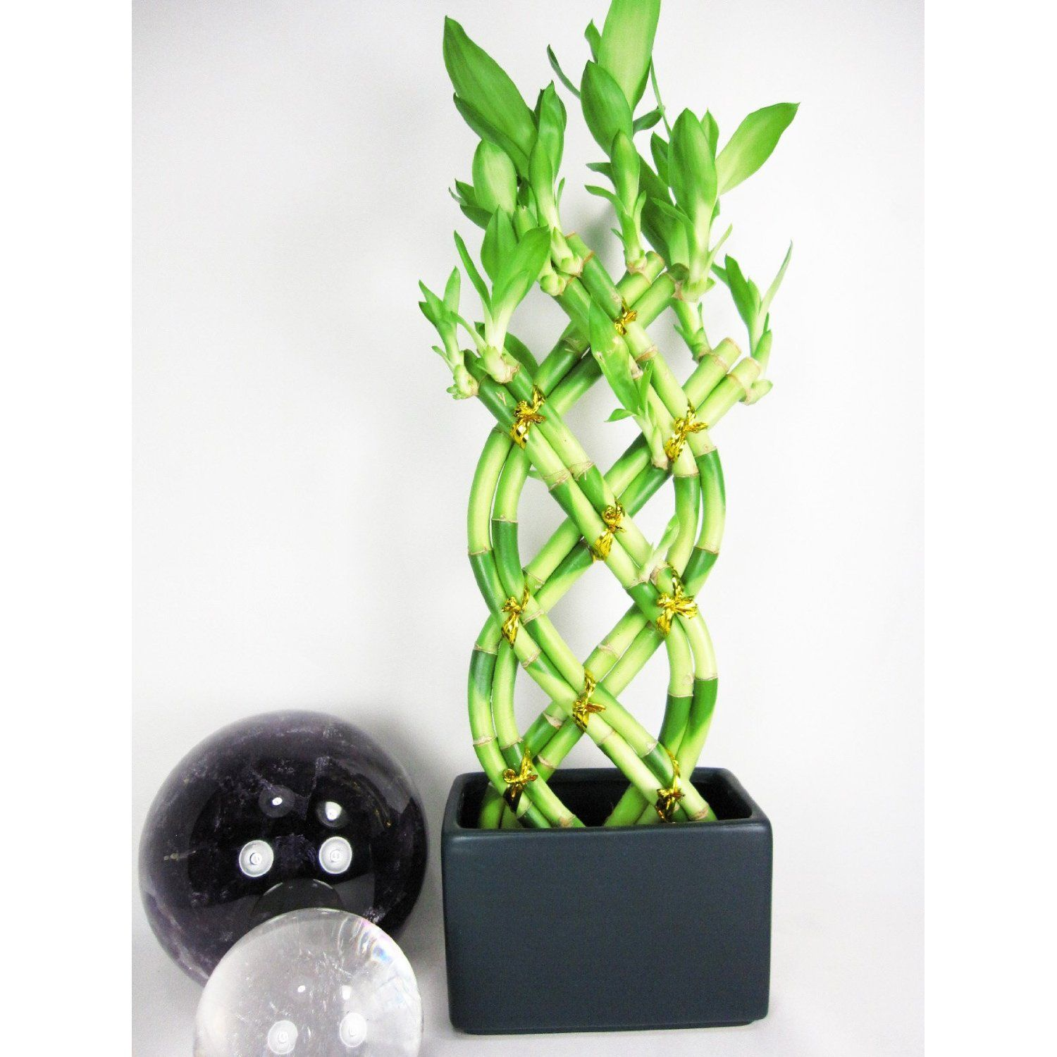 8 Stalks Lucky Bamboo