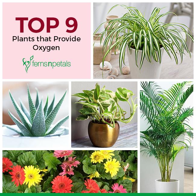 Top 9 Plants that Provide Oxygen - Ferns N Petals