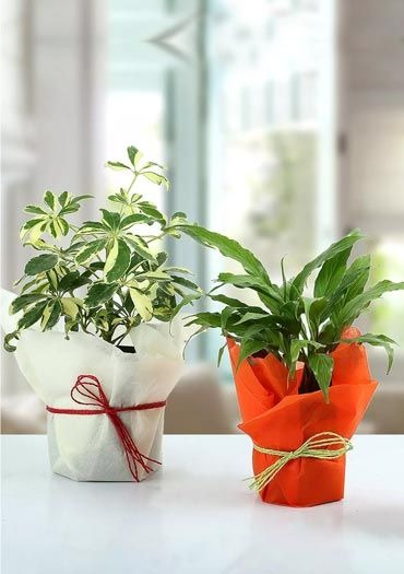 Housewarming Plants