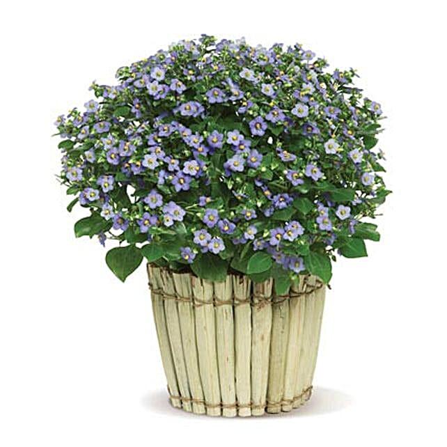 Precious Persian Violet