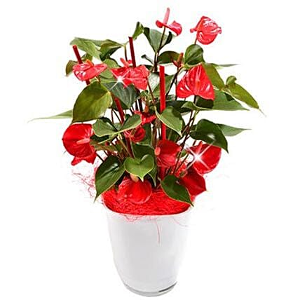 Anthurium Plant in Pot:Send Gifts to Munich
