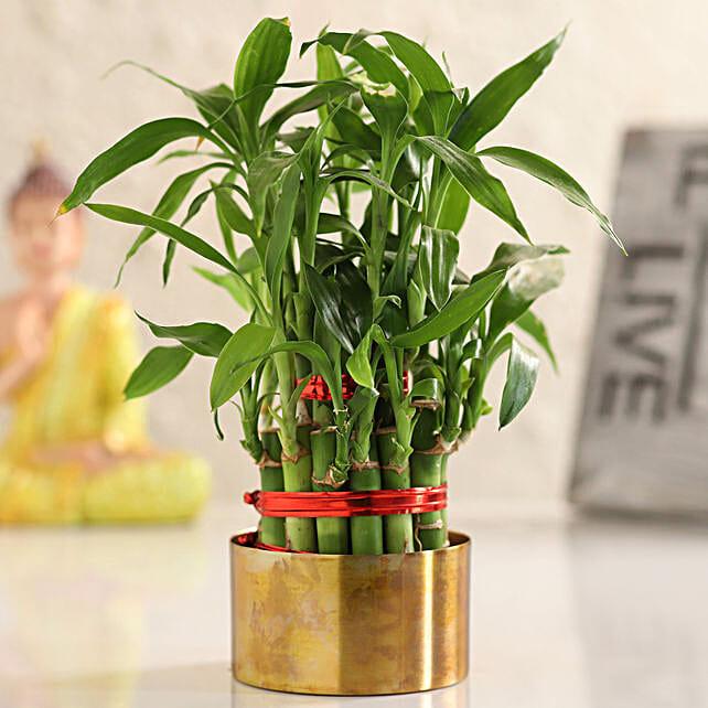 indoor lucky bamboo online